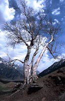 Silver birch tree, Kashmir