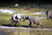 Brother elephants play fighting